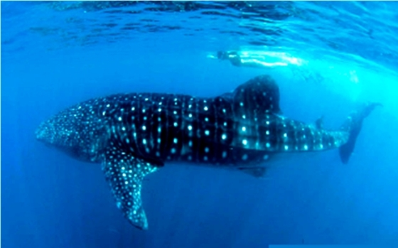 Whale shark Philippines | 365 Great Pinoy Stuff